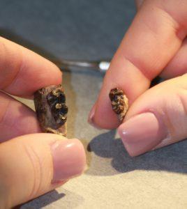 Vasemmassa kädessä on hevosen esimuodon Arenahippuksen varhaisempi fossiilinäyte, oikeassa kädessä myöhäisempi fossiilinäyte.