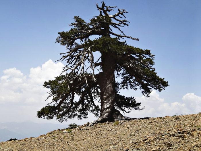 Ehkä vieläkin vanhempi puu kasvaa jossain, mutta tällä hetkellä tämä Kreikasta löytynyt mänty on vanhin Euroopan asukas, jonka ikä tiedetään.