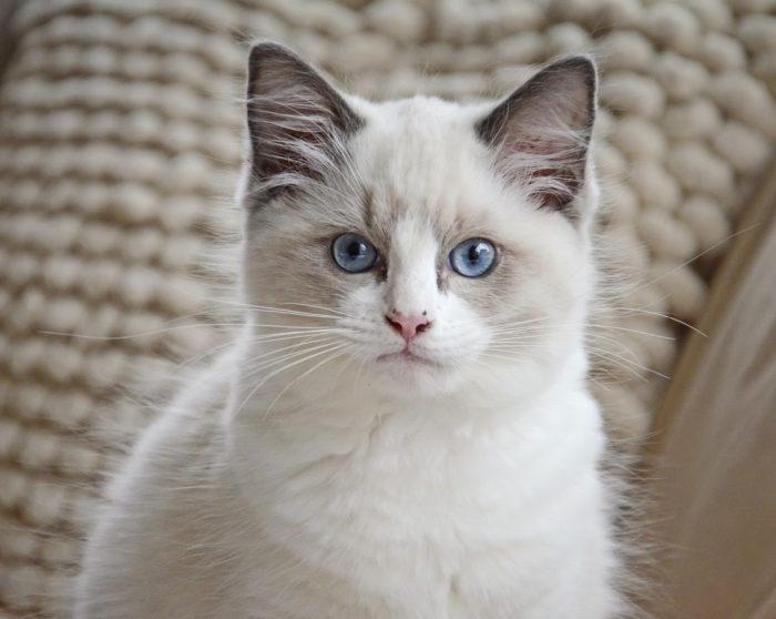 Kissa on koiran ohella Suomen suosituin lemmikkieläin. Kuitenkin kissojen sairauksia on tutkittu paljon vähemmän kuin koirien. Juuri julkaistu suuri tutkimus kartoitti kissojen rotutyypillisiä sairauksia ja käyttäytymisen erikoispiirteitä. Ragdoll-rotuiset kissat ovat tutkimuksen mukaan erityisen passiivisia.
